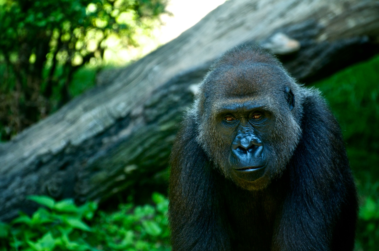 Gorilla Modelling
