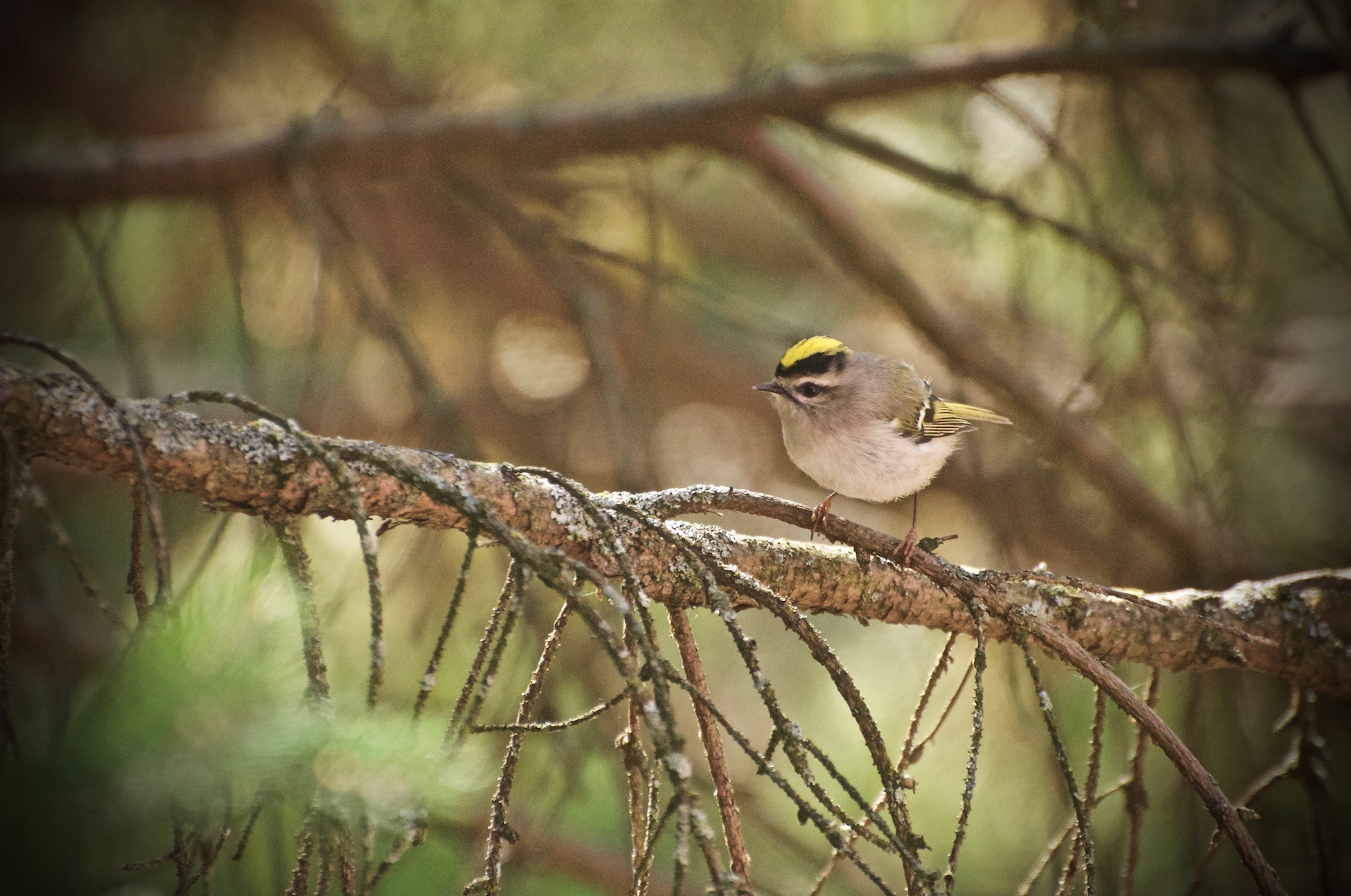 Male Golden Crowned Kinglet