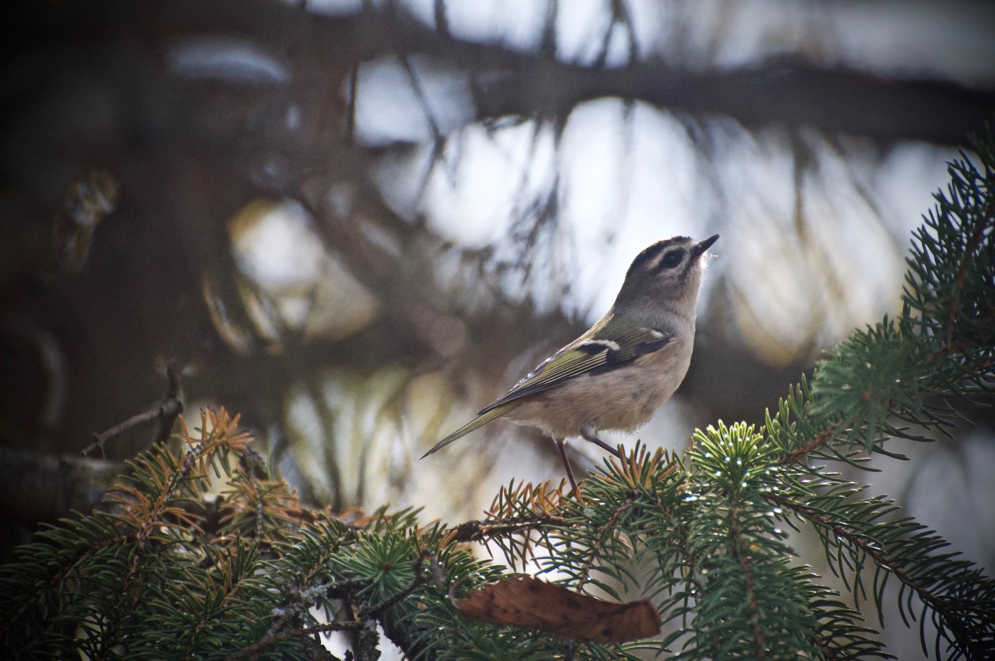 Female Golden Crowned Kinglet